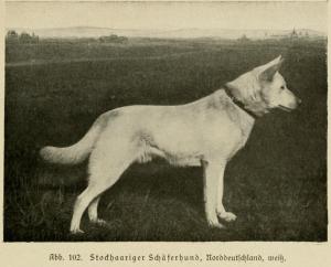 Stockhaariger Schäferhund, Norddeutschland, weiß (Max von Stephanitz)