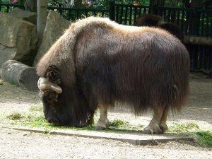 Moschusochse (Tierpark Berlin)
