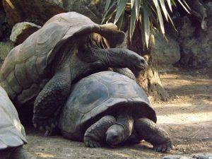 Aldabra-Riesenschildkröte (Tierpark Hellabrunn)