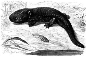 Axolotl (Brehms Tierleben)