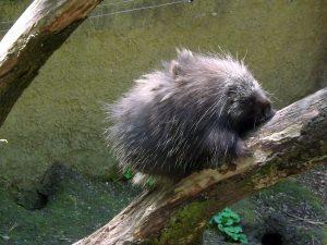 Baumstachler (Zoo Decin)