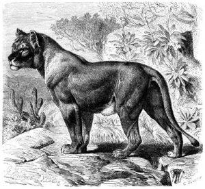 Senegallöwin (Brehms Tierleben)
