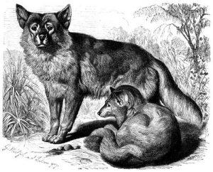 Dingo (Brehms Tierleben)