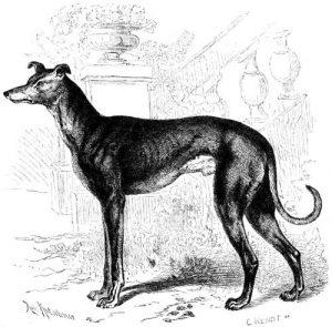 Windhund (Brehms Tierleben)