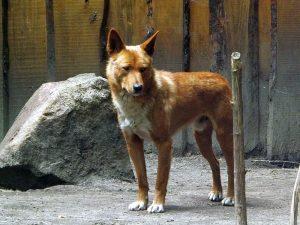Dingo (Tierpark Finsterwalde)