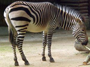 Hartmannzebra (Zoo Antwerpen)