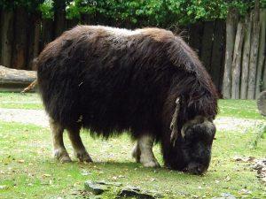 Moschusochse (Zoo Krefeld)