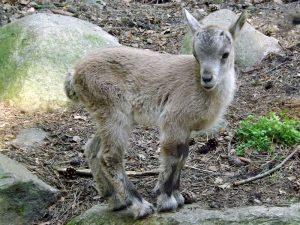Mufflon (Wildpark Schwarze Berge)