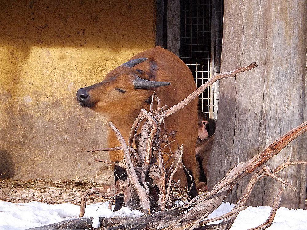 Rotbüffel (Zoo Augsburg)
