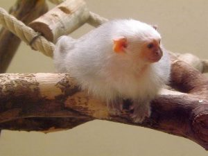 Silberäffchen (Zoo Mulhouse)