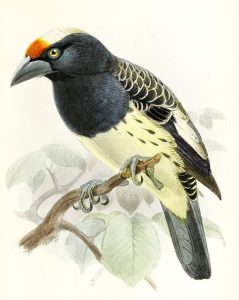 Weißnacken-Bartvogel (John Gerrard Keulemans)