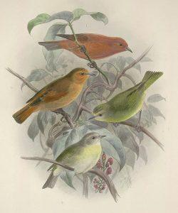 Hawaii-Akepakleidervogel (John Gerrrard Keulemans)