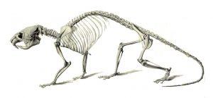 Mähnenratte, Skelett (Muséum d'histoire Naturelle)