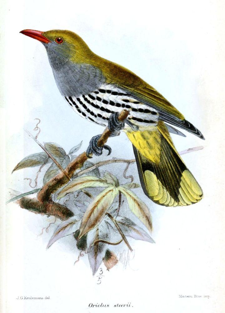 Philippinenpirol (John Gerrard Keulemans)