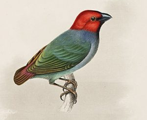 Samoa-Papageiamazone (Titian Peale)