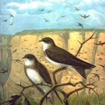 Uferschwalbe (John Gerrard Keulemans)