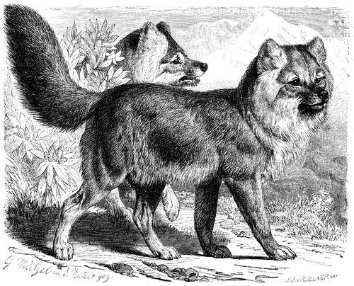 Alpenhund (Brehms Tierleben)