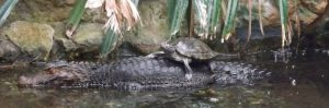 Brauen-Glattstirnkaiman und Gelbwangenschmuckschildkröte- (Tiergarten Straubing)