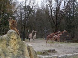Erdmännchen und Netzgiraffen (Tierpark Hellabrunn)