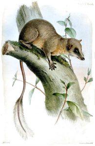 Federschwanz-Spitzhörnchen (Joseph Wolf)