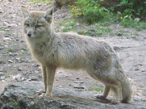 Steppenfuchs (Tierpark Gotha)