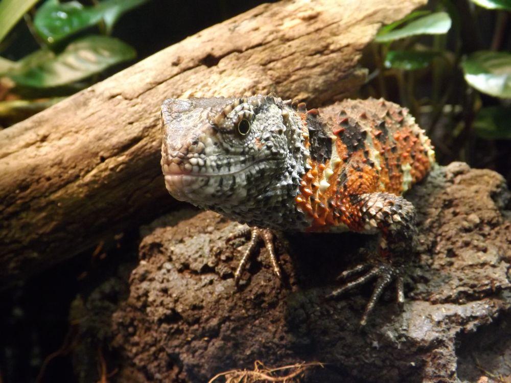 Chinesische Krokodilschwanzechse (Tiergarten Schönbrunn)