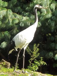 Mandschurenkranich (Zooparc Overloon)
