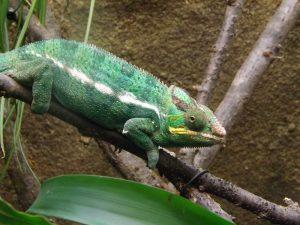 Pantherchamäleon (Zoo Augsburg)