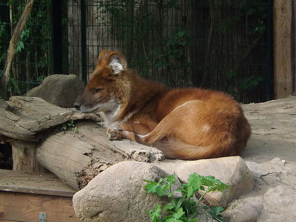 Rothund (Zoo Magdeburg)