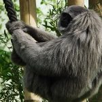 Silbergibbon (Tierpark Hellabrunn)