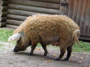 Wollschwein (Tierpark Eilenburg)