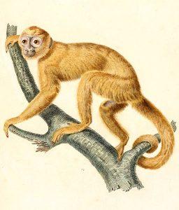 Goldkapuziner