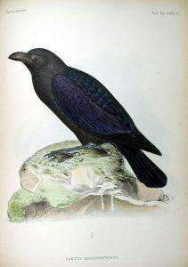 Dickschnabelkrähe (Philipp Franz von Siebold)