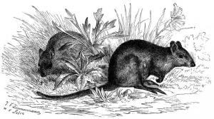 Moschusrattenkänguru (Brehms Tierleben)
