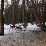 Damhirsche (Wildpark Poing)