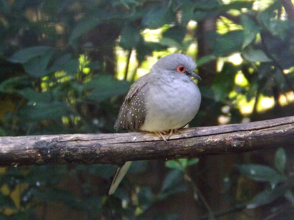 Diamanttaube (Vogelpark Olching)