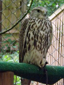 Gerfalke (Vogelpark Abensberg)
