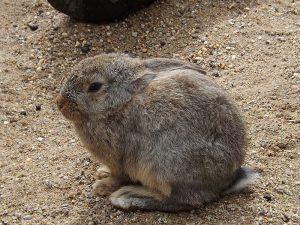 Hauskaninchen (Tierpark Köthen)