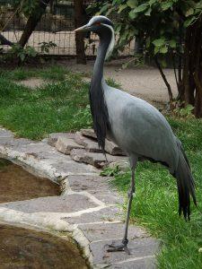 Jungfernkranich (Zoo Frankfurt)