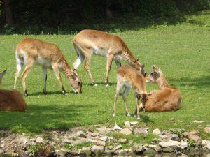 Kafue-Litschi-Wasserbock (Zoo Plzen)