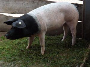Schwäbisch-Hällisches Schwein (Thüringer Zoopark)