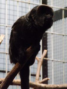 Springtamarin (Zoo Antwerpen)