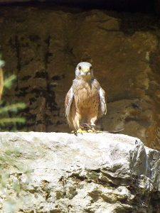 Turmfalke (Wildpark Bad Mergentheim)