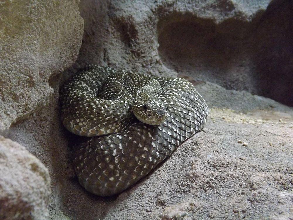 Uracoan-Klapperschlange (Tierpark Hellabrunn)