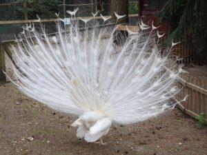 Weißer Pfau von hinten (Vogelpark Abensberg)