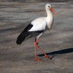 Weißstorch auf dem Parkplatz des Wildparadies Tripsdrill