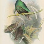 Bänder-Paradiesvogel (John Gould)