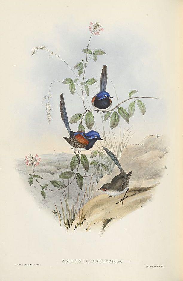 Blaubrust-Staffelschwanz (John Gould)