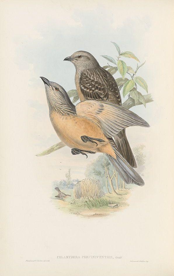 Braunbauch-Laubenvogel (John Gould)