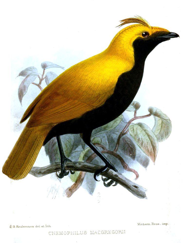 Furchenvogel (John Gerrard Keulemans)